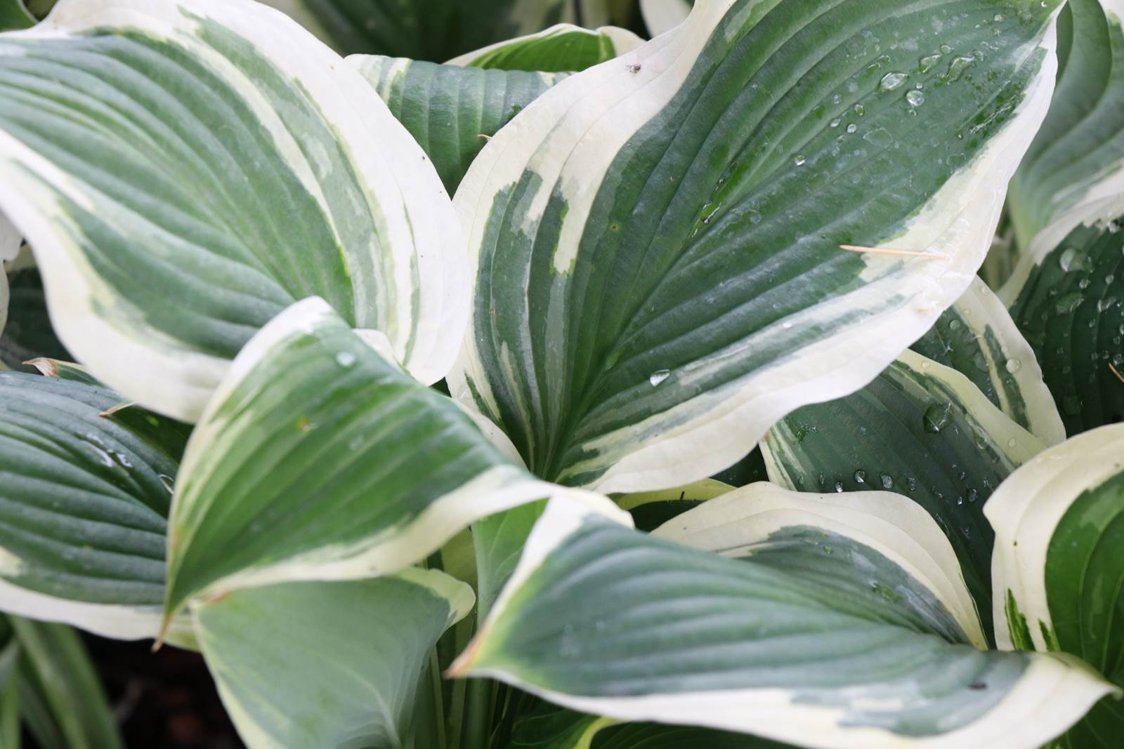 Hosta Eye Candy