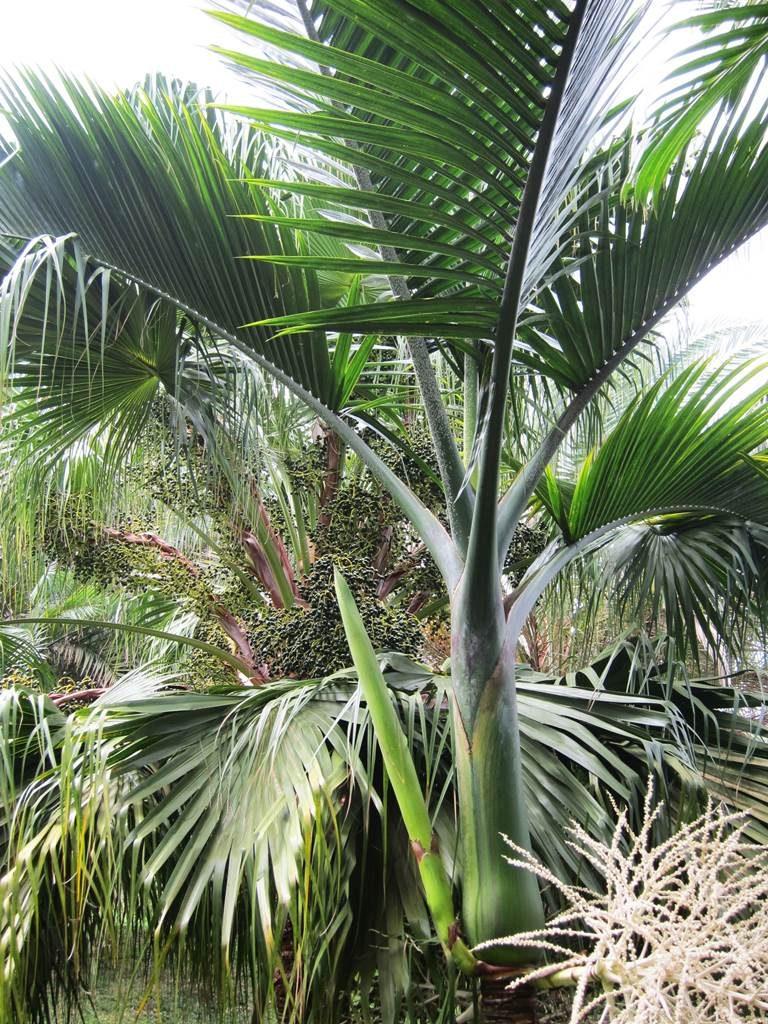 Hyophorbe indica palmiste poison