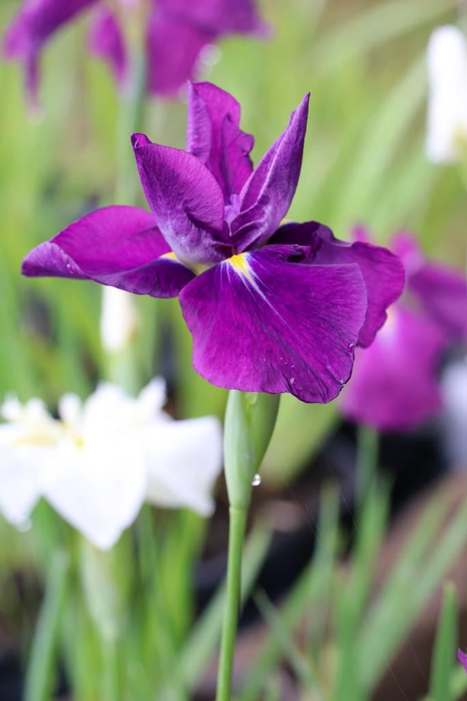 Iris Sensation