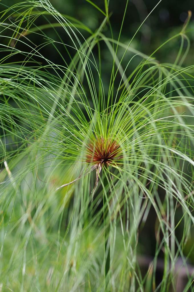 Cyperus papyrus Papyrus des marais