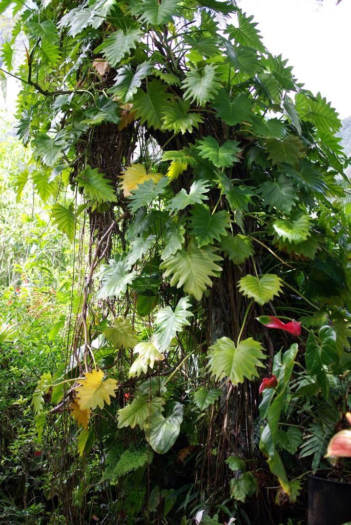 Monstera deliciosa Faux Philodendron