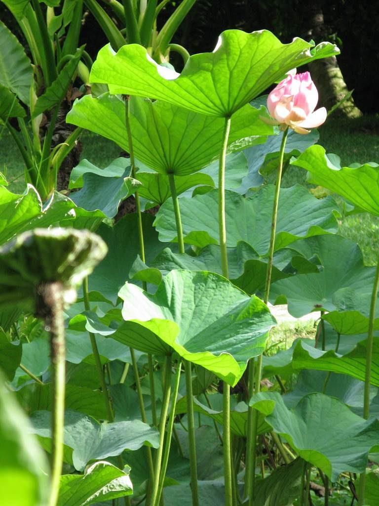 Nelumbo nucifera Lotus sacré