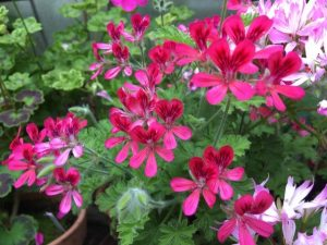 Pelargonium Concolor Lace