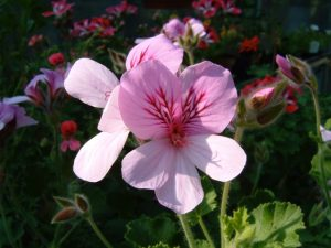 Pelargonium Queen of Lemon