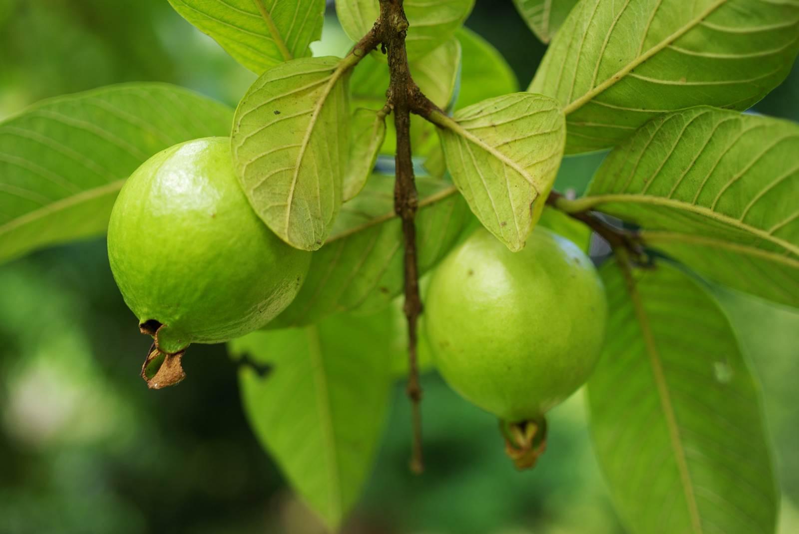 Psidium guajava goyave pomme