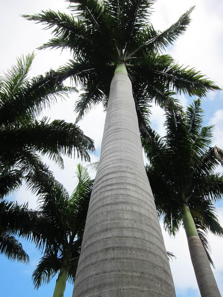 Roystonea oleracea palmier royal