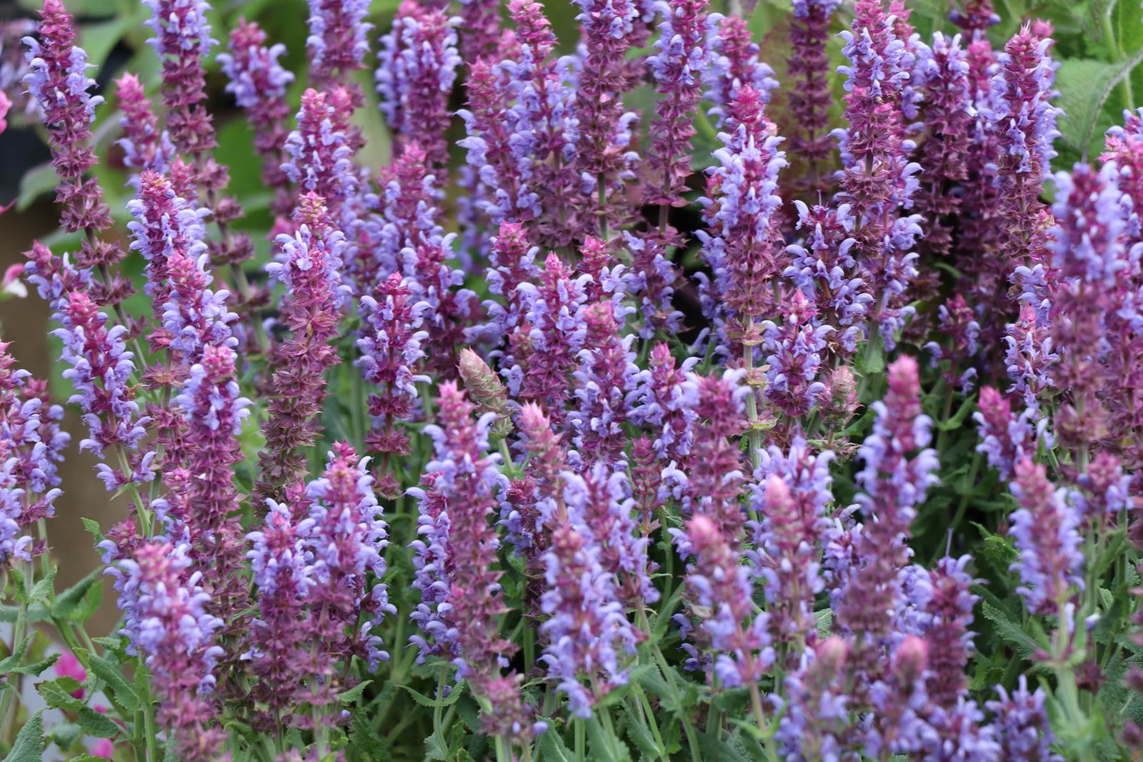 Salvia nemorosa Salute Ice Blue
