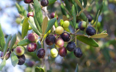 L'olivier, un arbre de légende