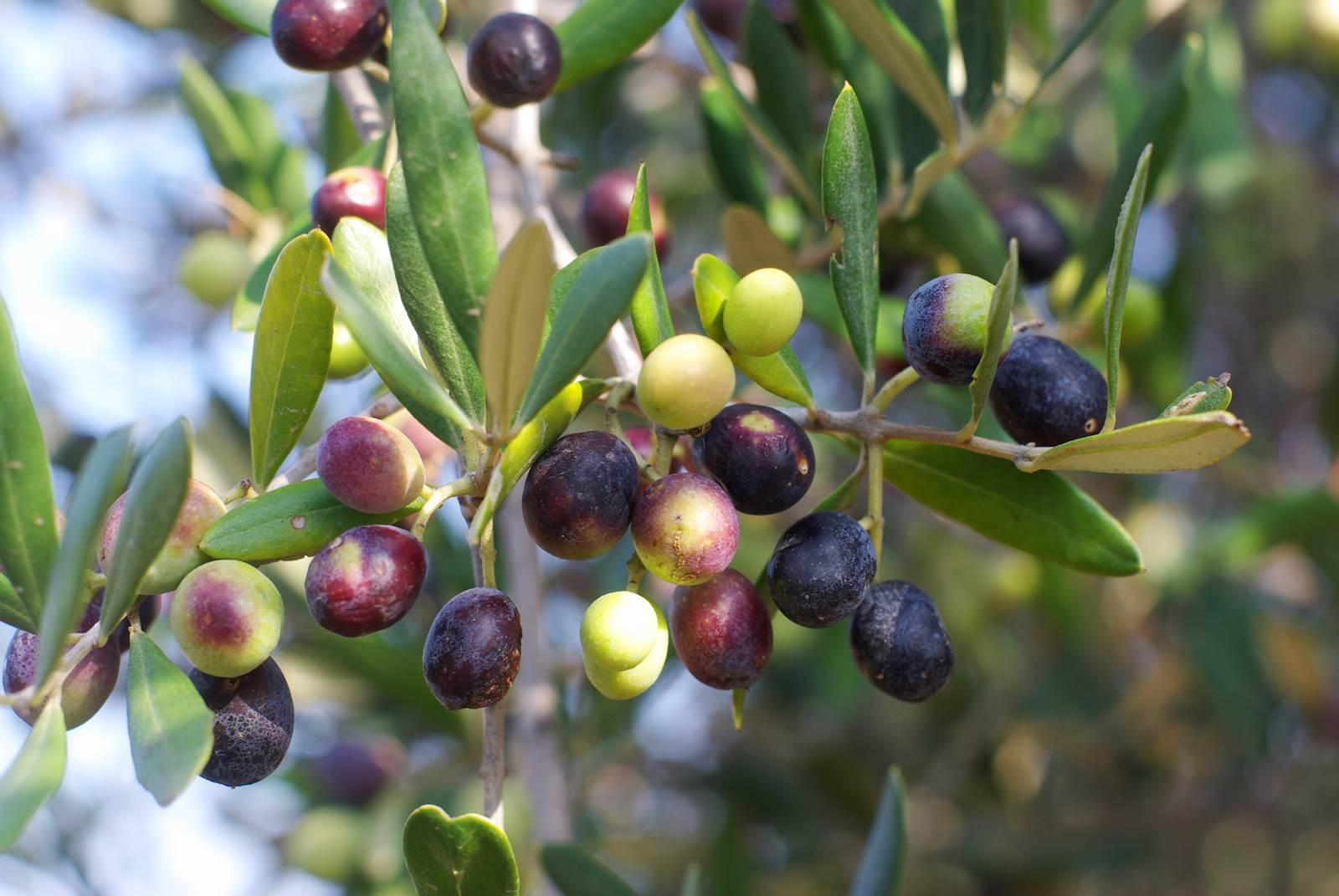 Il Cultive L Olivier l'olivier, un arbre de légende - la terre est un jardin