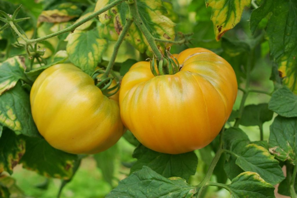 tomate de mon jardin
