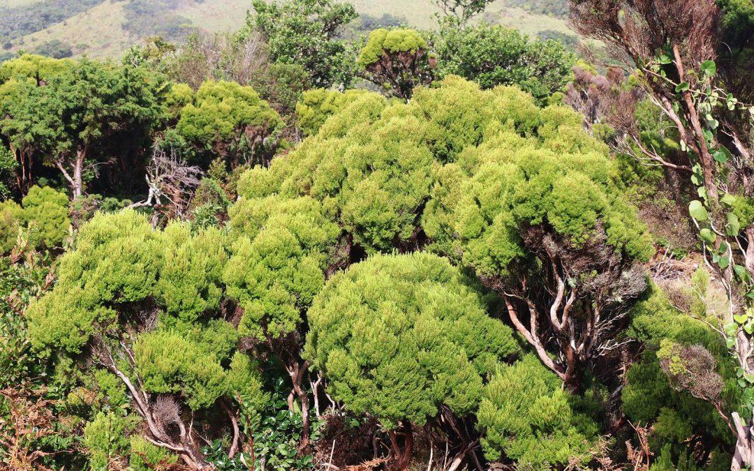 La flore des Açores