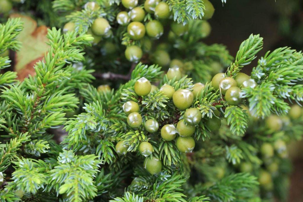 Acores Juniperus brevifolia