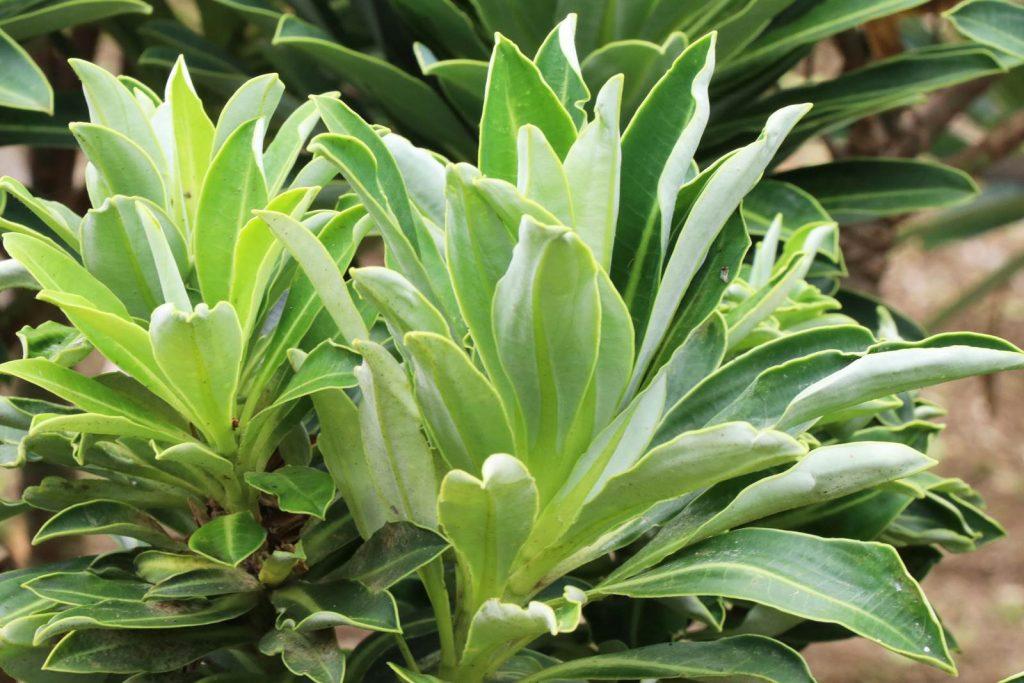 Acores Euphorbia stygiana