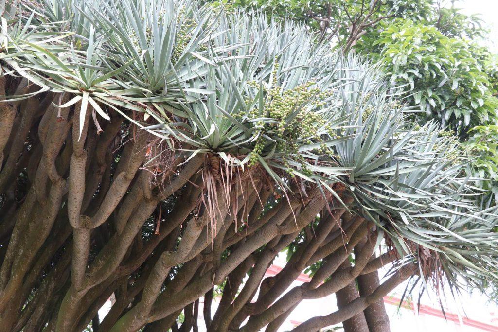 Acores botanique