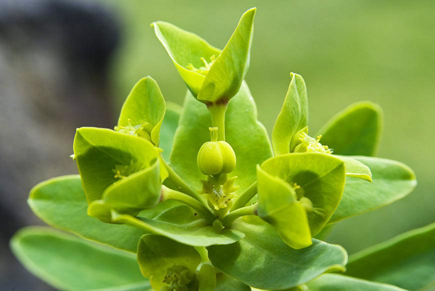 Acores Euphorbia azorica