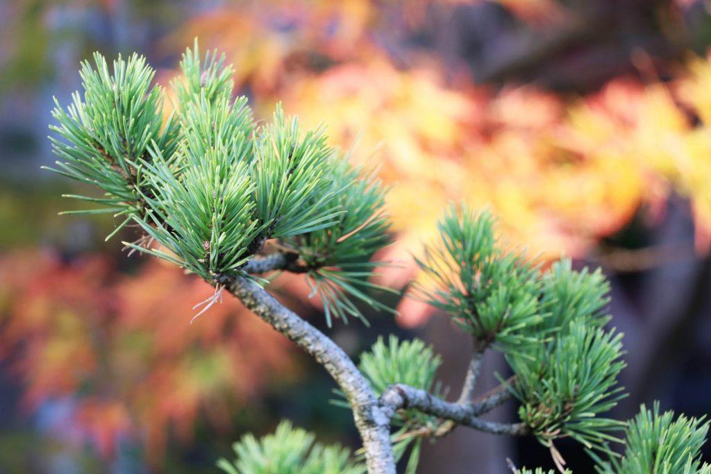 Pépinière bonsai Jacques Mainil