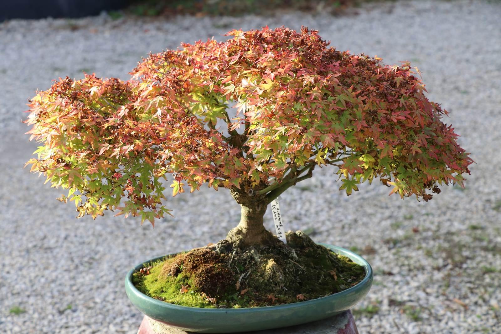 Pot Jardin Grande Taille bonsaï, un arbre sublimé en pot - la terre est un jardin