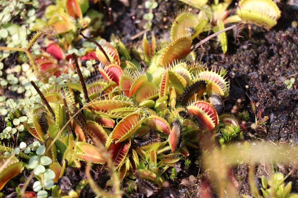 Dionaea plante carnivore