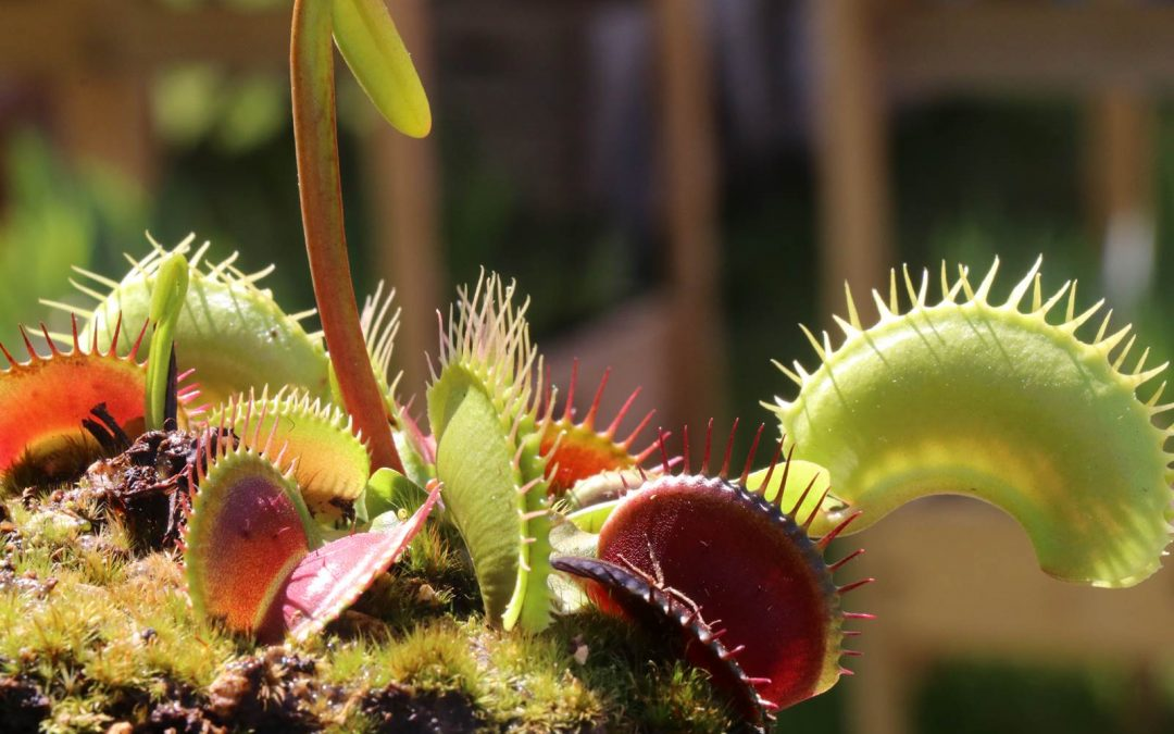 Des plantes carnivores chez soi