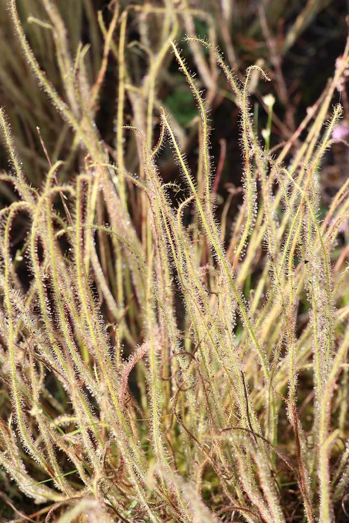 Drosera plante carnivore