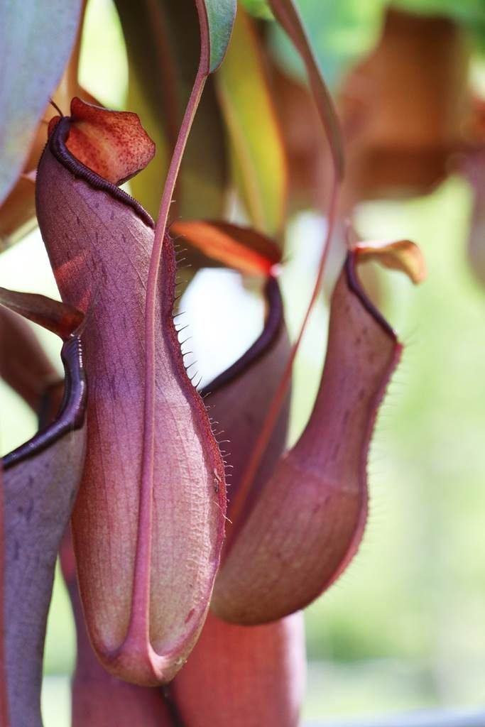 Nepenthes plante carnivore