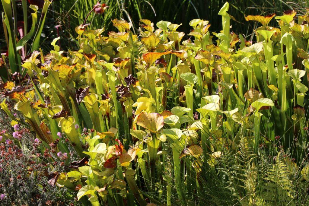 Sarracenia plante carnivore