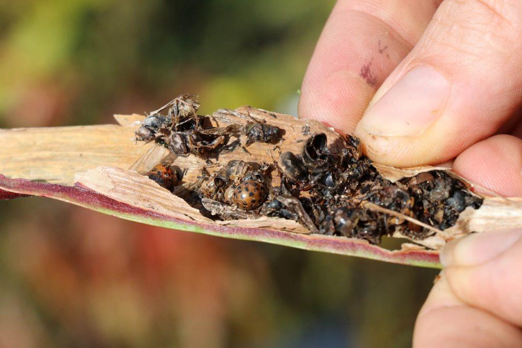 Sarracenia piège à insectes