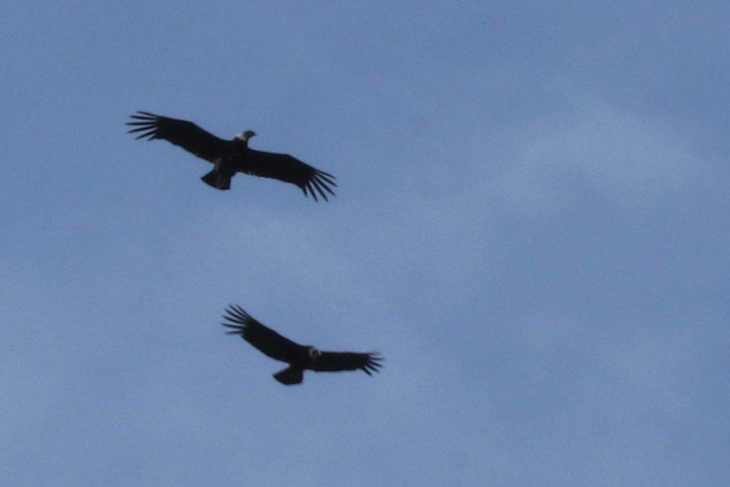 Condor Patagonie