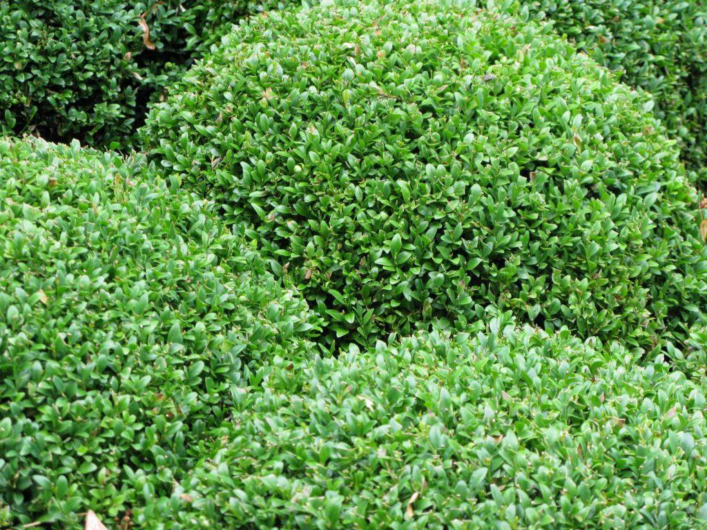 Buis Buxus sempervirens