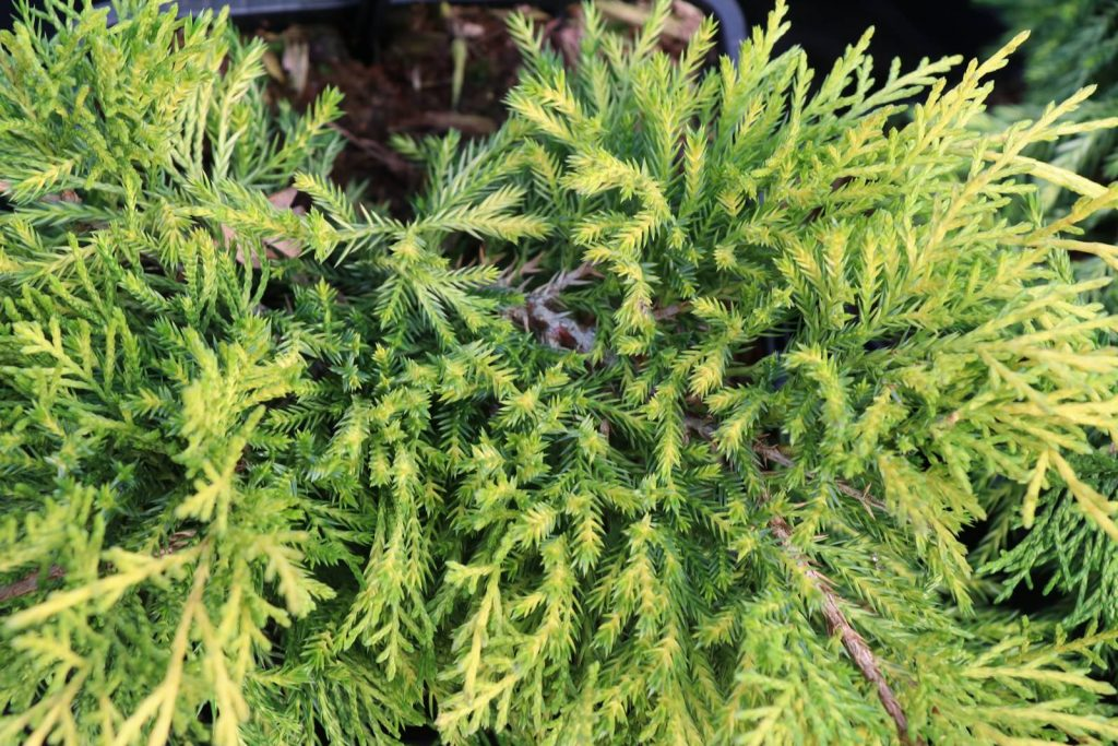 Juniperus pfitzeriana King of Spring
