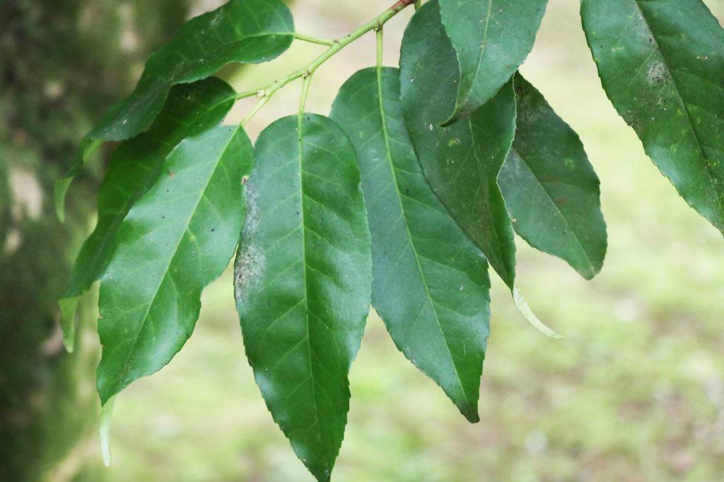 Laurier des Açores Prunus lusitanica ssp azorica