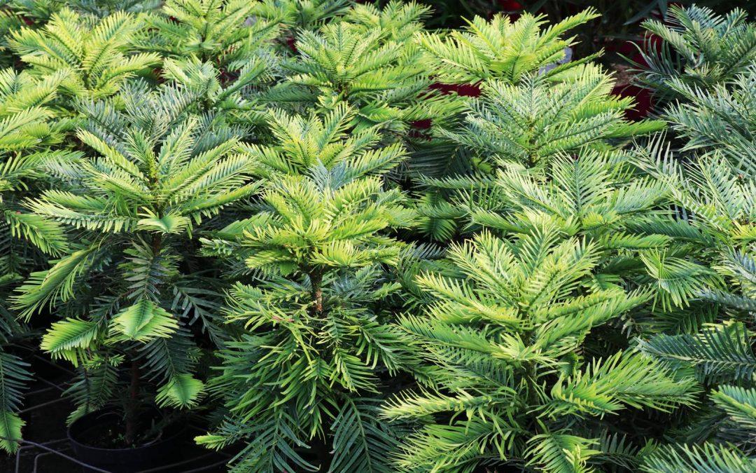 Le pin Wollemi, un dinosaure végétal en danger