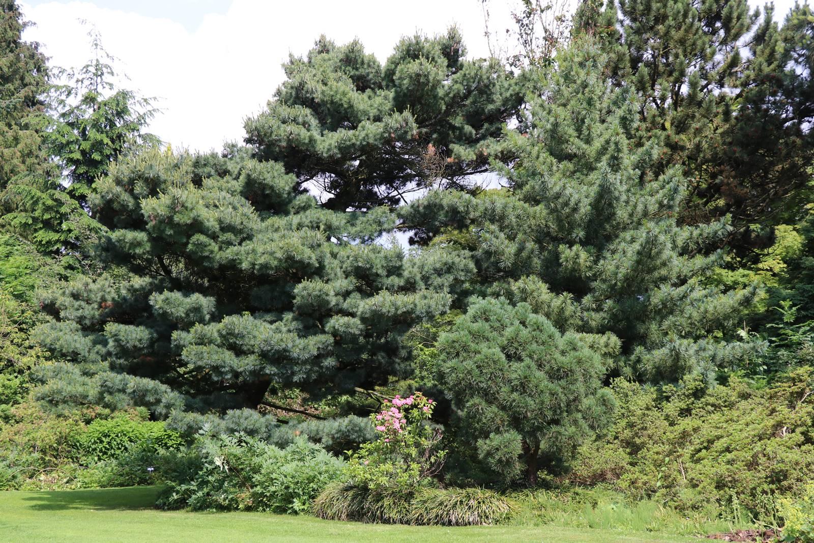Pinus strobus Umbraculifera