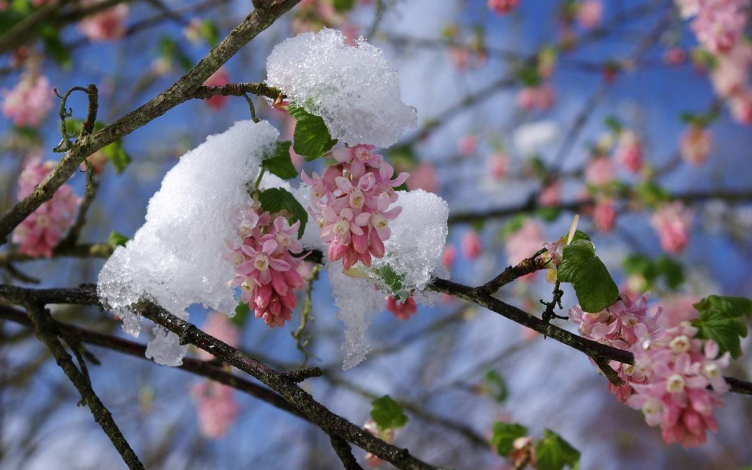 Arbustes à fleurs, ils annoncent le printemps!