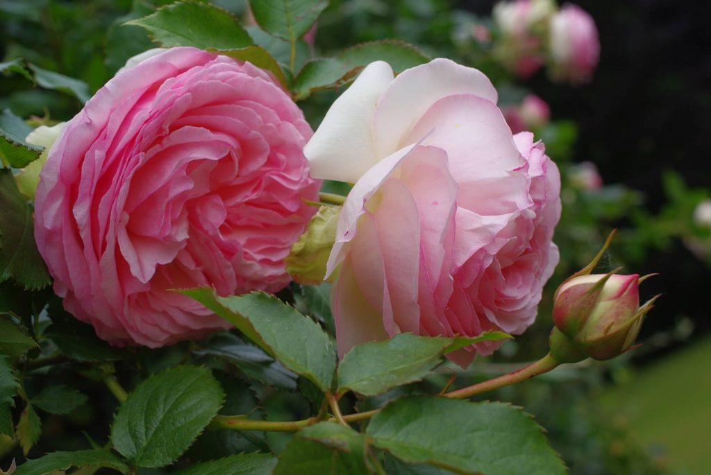 Rosier Pierre de Ronsard syn. Eden Rose