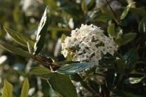 Viburnum x burkwodii