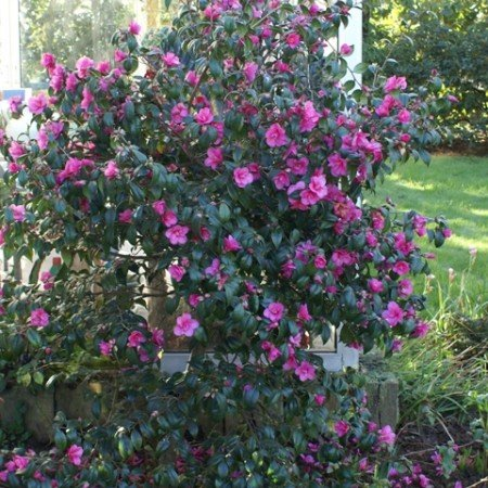 Camellia japonica Gay Baby