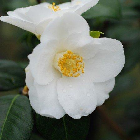 Camellia japonica Madame Lourmand