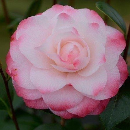 Camellia japonica Nuccio's Pearl