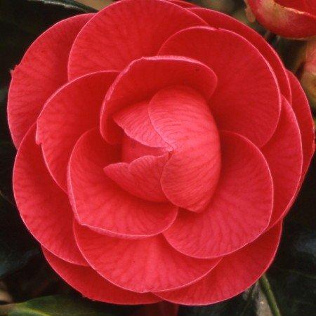 Camellia japonica Paolina Guichardini