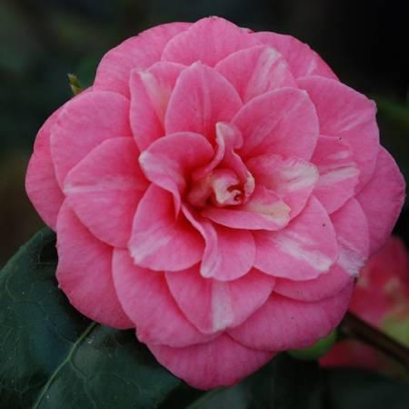 Camellia japonica Sacco Nova