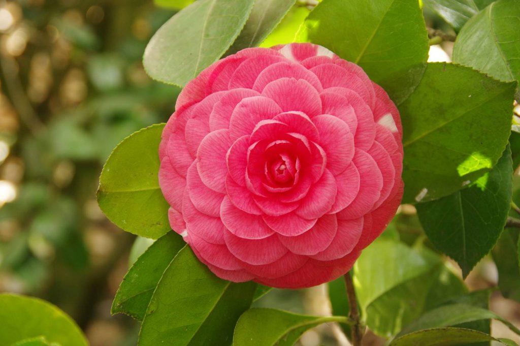 Camellia japonica Beauté de Nantes