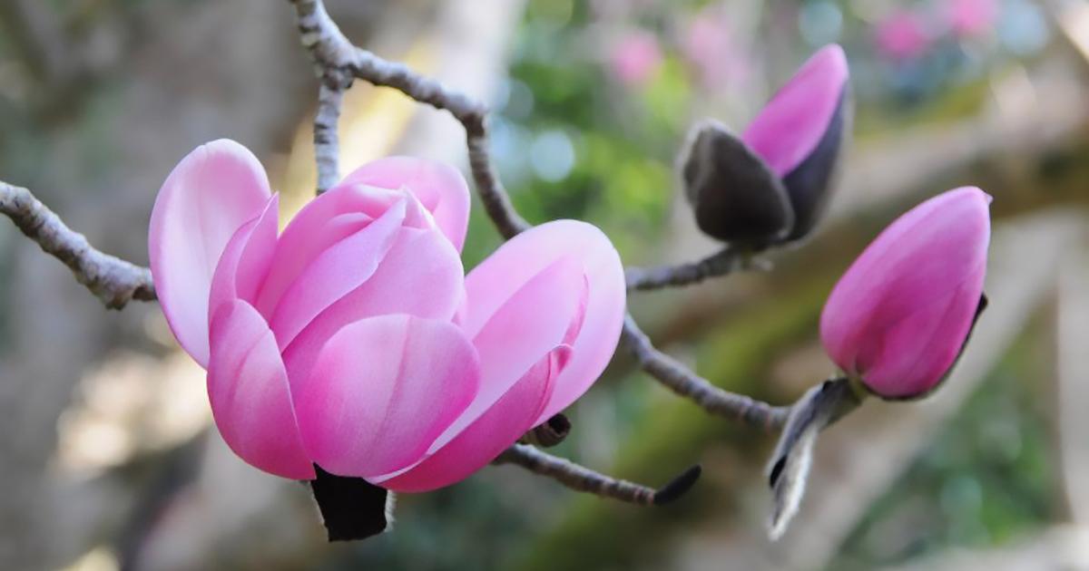 Magnolia Trebah Garden