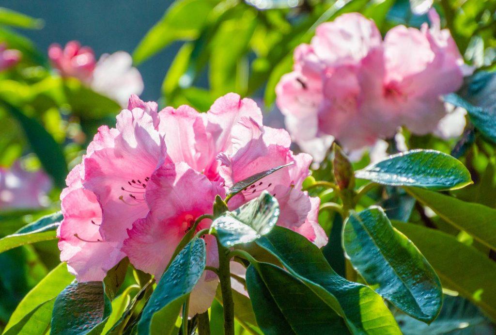 Rhododendron Trebah Gem