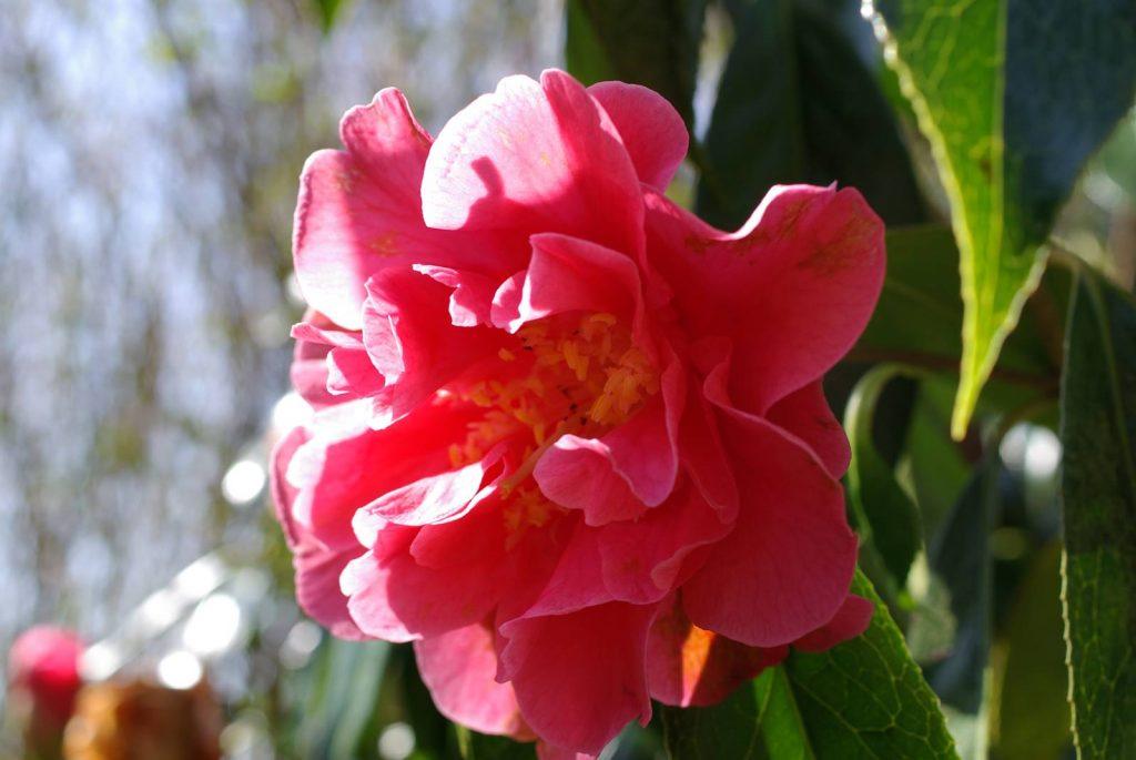 Camellia reticulata Francie L