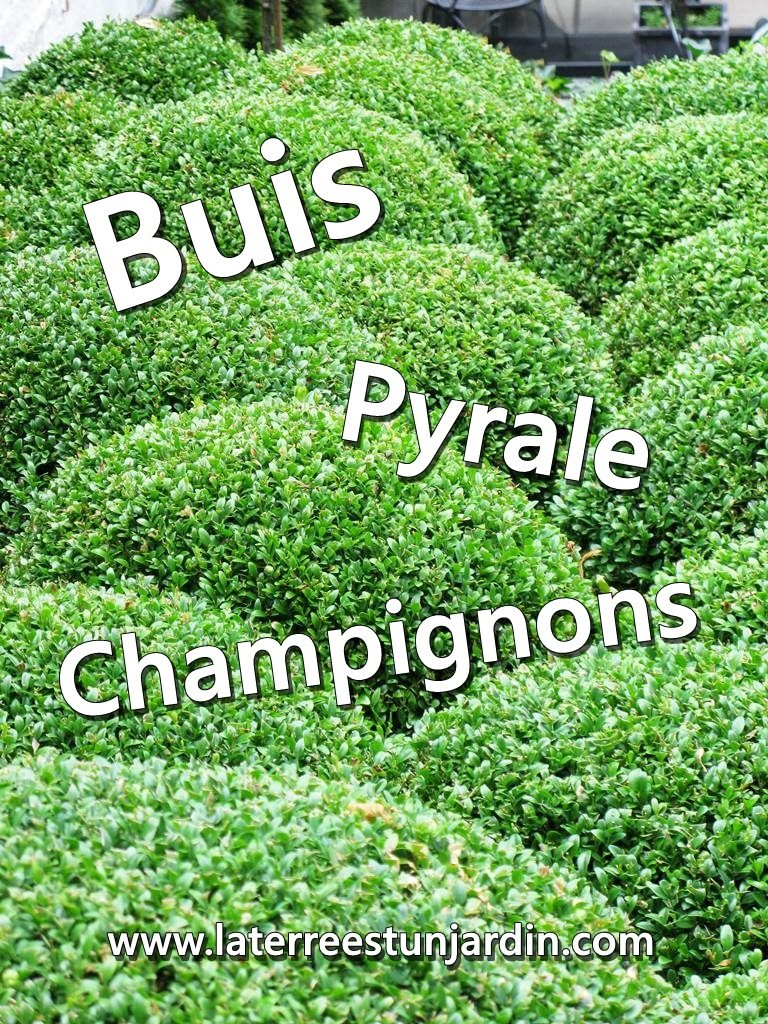 Buis Pyrale Champignons