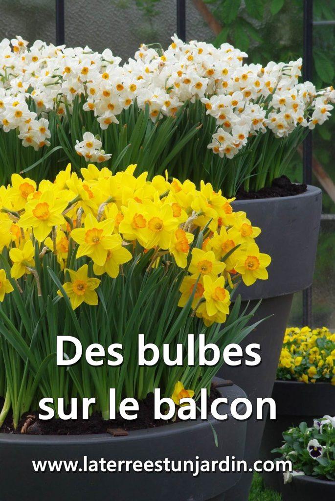 Bulbes en pot balcon