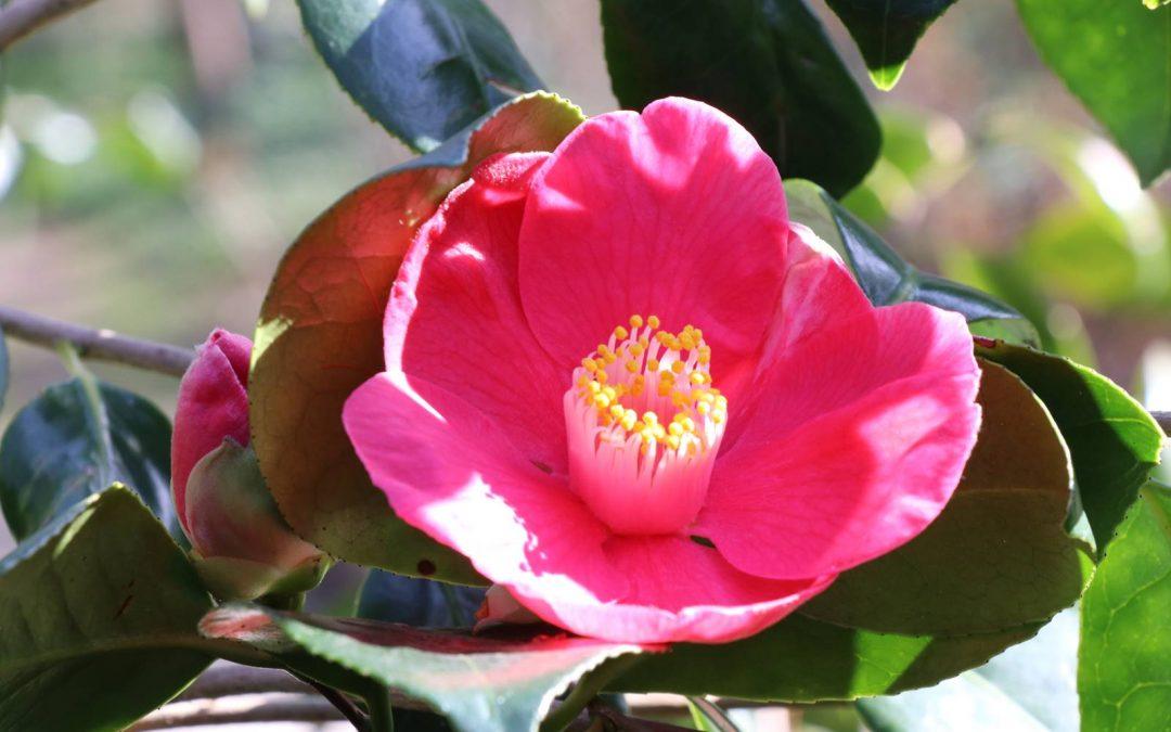 Camellia japonica, une fleur de légende