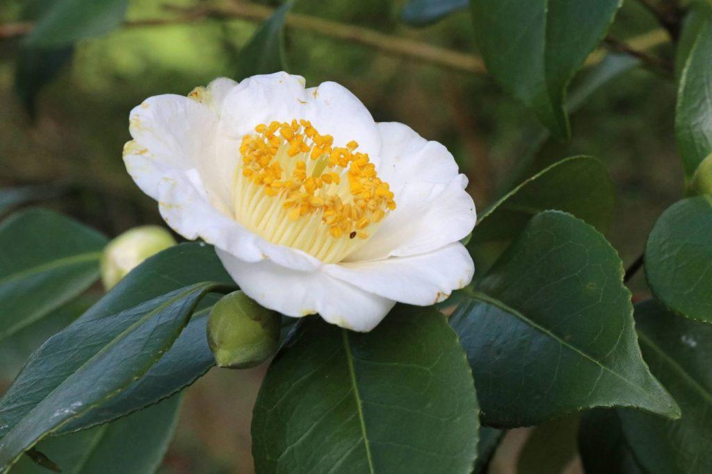 Camellia japonica Alba Simplex