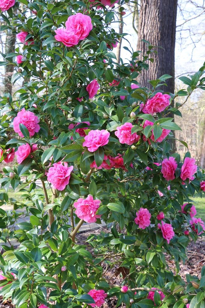 Camellia x williamssi Debbie